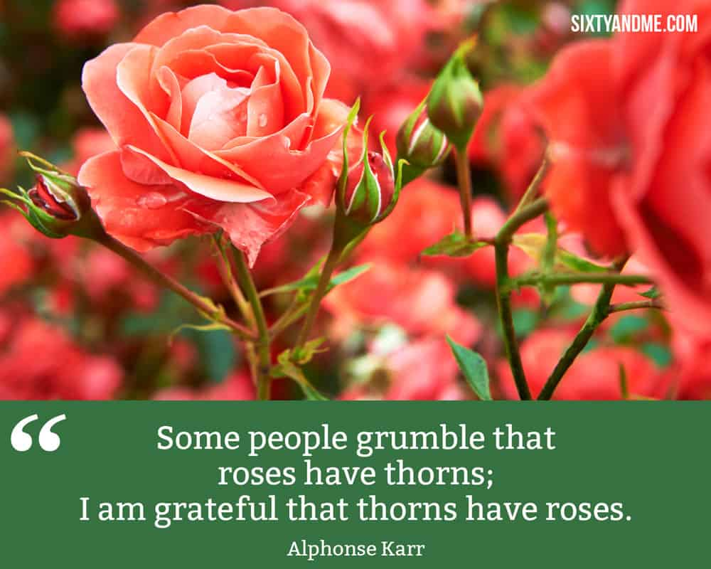 """""""Some people grumble that roses have thorns; I am grateful that thorns have roses."""" - Alphonse Karr"""