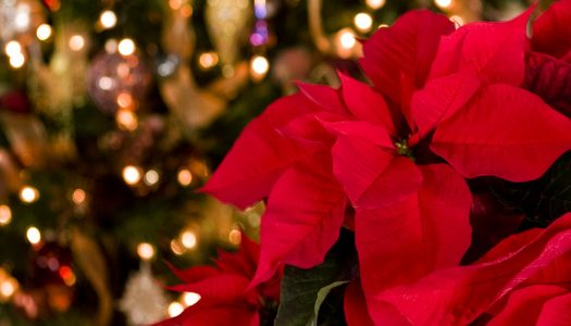 How to Keep Your Poinsettia Looking Its Best Through the Holidays