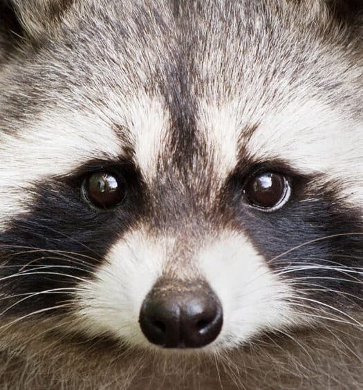 Adorable-Raccoon