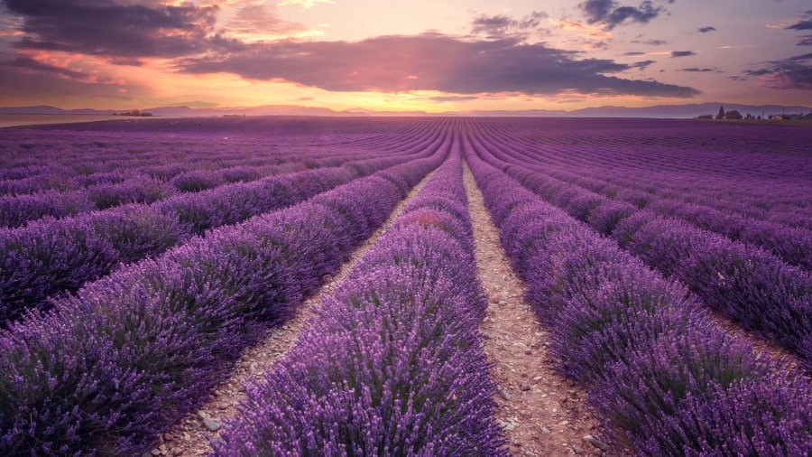 lavender field herbs that reduce stress